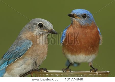 Pair of Eastern Bluebird (Sialia sialis) on a feeder