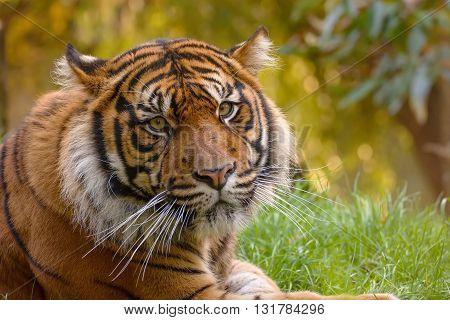 The head of the tiger sumatran in a Zoo in Brno.