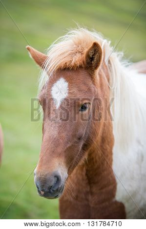 Icelandic horse. The Icelandic horse is a breed of horse developed in Iceland. Although the horses are small, at times pony-sized, most registries for the Icelandic refer to it as a horse.