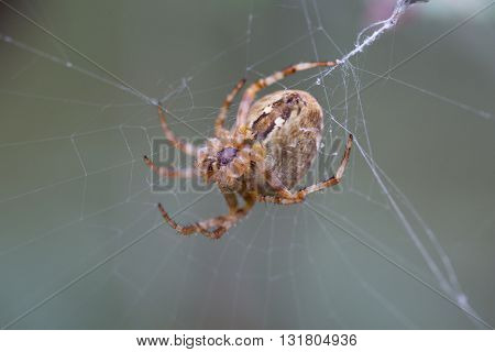 Big spider sitting on a thin cobweb