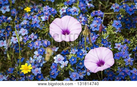 two Convolvulus althaeoides pink flowers on a field of Anagallis monelli blue wild flowers in spring