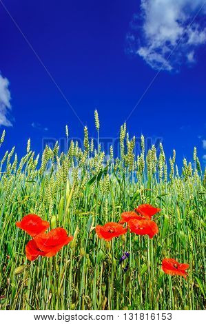 Amazing view of wheat field and red poppies by summertime.