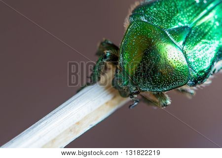 detail of dotted armature of green smaragd beetle bug on wood