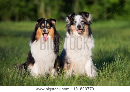 two adorable sheltie dogs sitting together outdoors