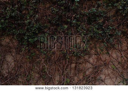 Beautiful Green leaves with vine on wall beside street.  I stunned with Shape of natural vine and leaves on the wall beside Street path way. Green and gray color combine in perfect shape.