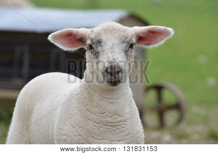 Close-up of a young white lamb in the field