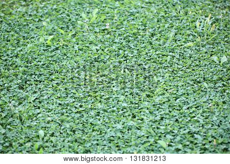 Beautiful greenish clover grass natural structured background