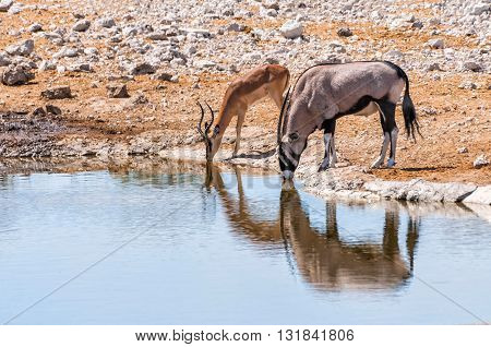 Gemsbok and Springbok at the water pool in Etosha national park in Namibia. The park spans an area of 22,270 square kilometres and is home to hundreds of species of mammals, birds and reptiles.