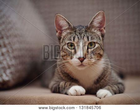 Portrait of a domestic striped cat with white paws lies on a floor.