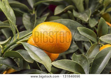 Orange Kumquat Close Up on its tree.