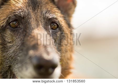 German Shepherd Dog close up of eyes and face