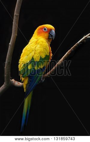 Sun parakeet (Aratinga solstitialis) resting on a branch isolated on a dark background