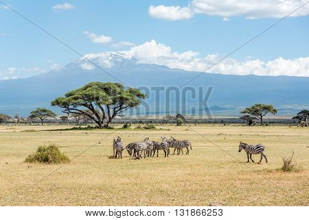 Grevy Zebra herd with Kilimanjaro moun in the background in Kenya Africa
