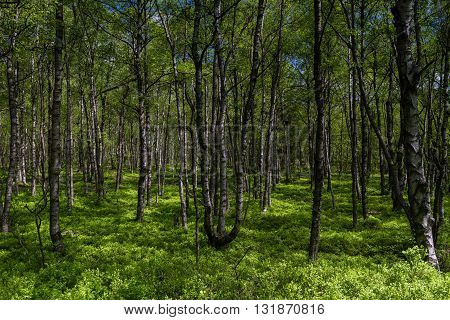 Birch tree forest in spring at a marsh Rotes Moor Rhoen Hessen Germany