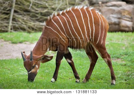 Eastern bongo (Tragelaphus eurycerus isaaci), also known as the mountain bongo. Wildlife animal.