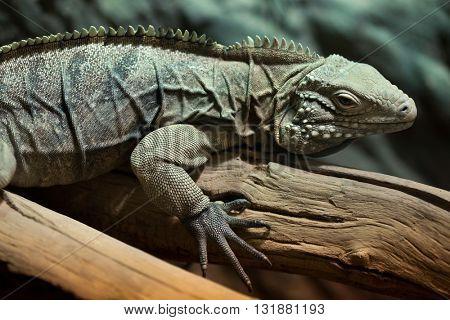 Cuban rock iguana (Cyclura nubila), also known as the Cuban ground iguana. Wildlife animal.