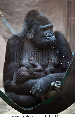 Western lowland gorilla (Gorilla gorilla gorilla) with its two-week-old baby. Wildlife animal.