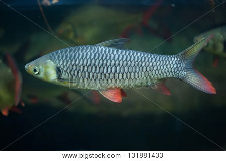 Hoven's carp (Leptobarbus hoevenii), also known as the mad barb or sultan fish. Wildlife animal.  poster