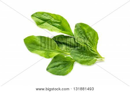 Medicinal plant leaves plantain (Plantago major) on a white background