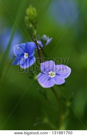 Veronica officinalis blue flower alias storm flower