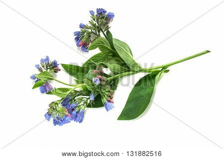 Medicinal plant comfrey (Symphytum officinale) on a white background. It is used for outdoor applications promotes splicing bones. Caution there are contraindications