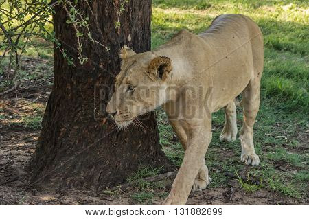 The African Lion is the top predator in the African wild poster