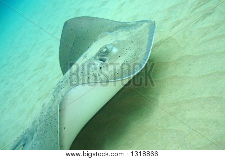poster of A ray swimming right next to the sand.