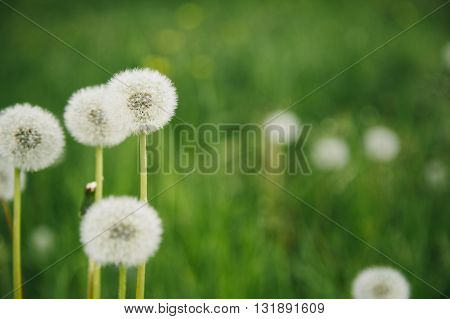 Blowballs on the green vivid field background in summer, copy space