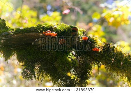 A kind of wild fungi (fungus), are under development
