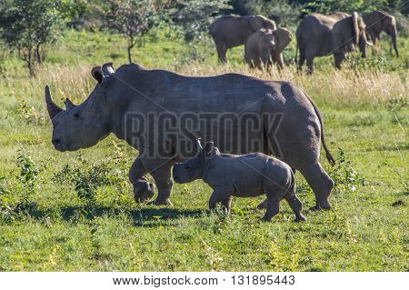 Southern White Rhinoceros grazing in the Weldgevonden Game Reserve in South Africa