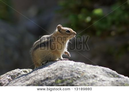 Curious Squirrel Sitting on Rock