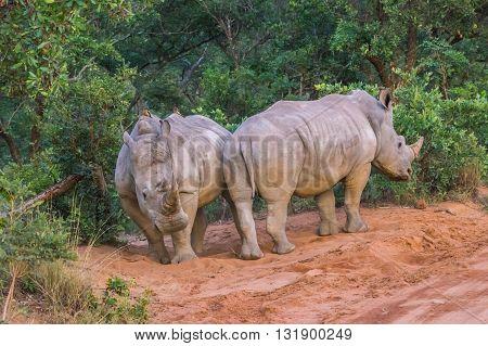Rhinoceros grazing in the Weldgevonden Game Reserve in South Africa