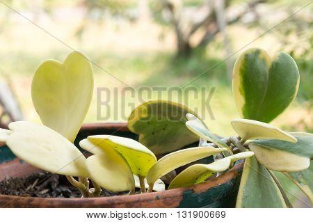 Hoya kerrii Craib in pot (Heart shaped plant) Sweetheart Hoya