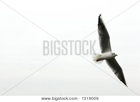 seagull flying with its wings spread. isolated on white. poster