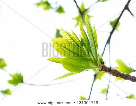 Cannonball Green Leaf Isolated On White Background