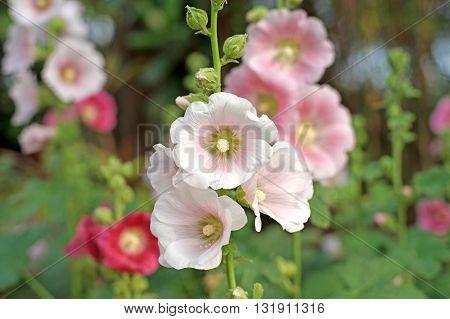 Beautiful Hollyhock Flower Or Althaea Flower