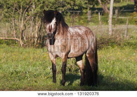 stallion of the swedish breed gotland pony