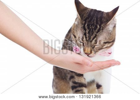 Pets Care.Young woman holding cat home.Cute cat eating from on woman's hand in home.Friendship.Love.Cat Eating from owner Hand on white background.