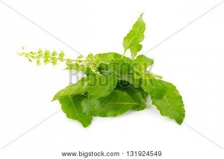 Fresh Basil Leaves In Closeup