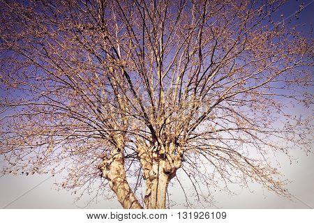 Detail of plane tree - toned image