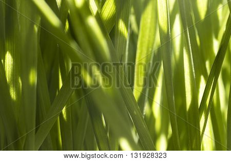 Fresh wheatgrass close up and in shallow depth of field