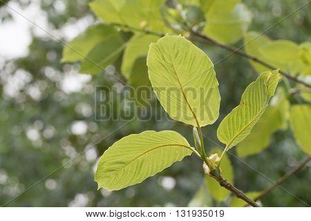 Kratom (mitragyna Speciosa) Mitragynine. Drugs And Narcotics