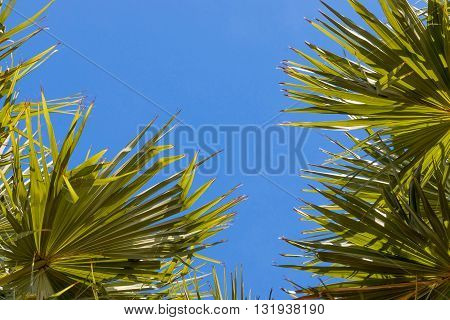 fresh green sugar palm tree leaves in blue sky for background