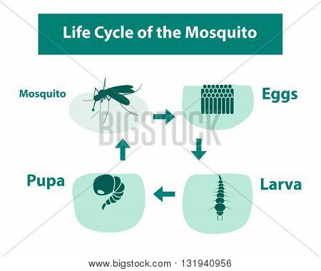 Life Cycle of the Mosquito in monochrome style vector