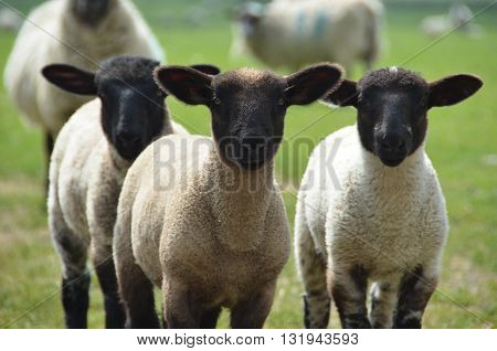A group of three lambs in the field
