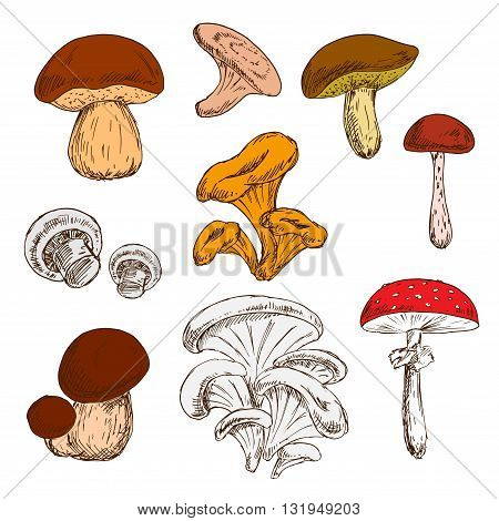 Ripe fresh king bolete and champignons, wild forest chanterelles, porcini and boletus, tree oysters and cep, poisonous amanita mushrooms sketch symbols. Great for vegetarian recipe or guide book design usage