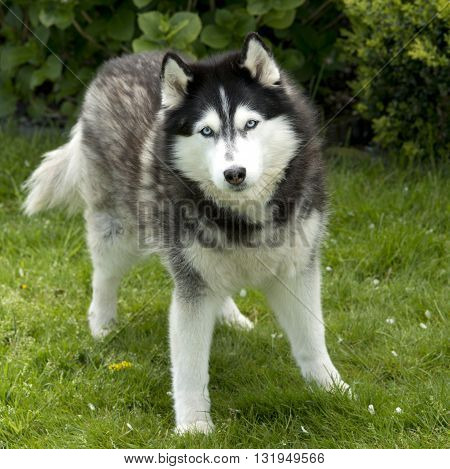 Husky Dog In Garden