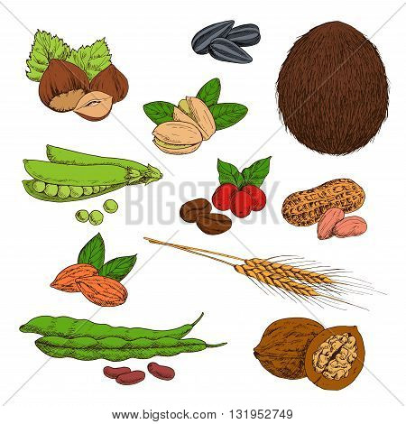 Fresh and dried nuts, beans, seeds and cereals sketches of peanuts and hazelnuts, coffee and walnuts, pistachios and almonds, wheat ears, sunflower seeds and coconut, pods of green peas and common bean