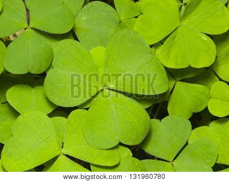 Common Wood Sorrel Oxalis acetosella leaves texture macro selective focus shallow DOF