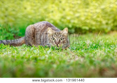 Cat Hunting In Grass